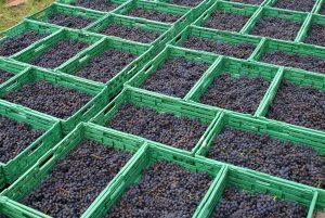 In grünnen Körbe trocknen die Trauben, bis die hälfte des Wasser verdunstet ist.